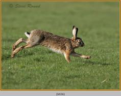 brown-hare-56.jpg