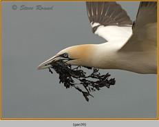 gannet-39.jpg