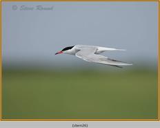 common-tern-26.jpg