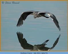 grey-heron-73.jpg