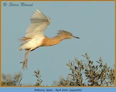 squacco-heron-09.jpg