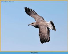 lesser-black-backed-gull-140.jpg