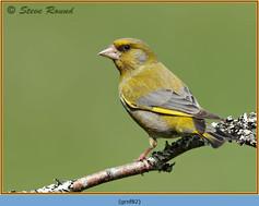greenfinch-82.jpg