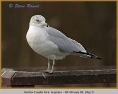 ring-billed-gull-16.jpg