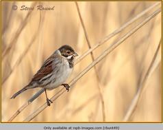 reed-bunting-49.jpg