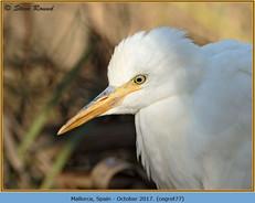 cattle-egret-77.jpg