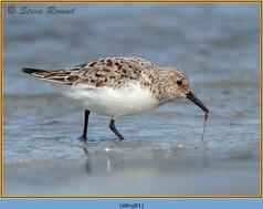 sanderling-81.jpg