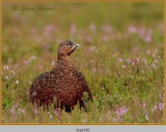 red-grouse-110.jpg