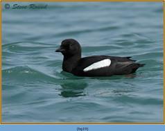 black-guillemot-19.jpg