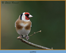 goldfinch-66.jpg