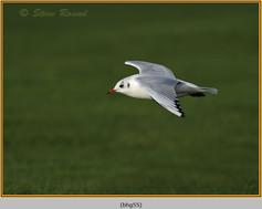 black-headed-gull-55.jpg