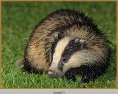 badger-27.jpg