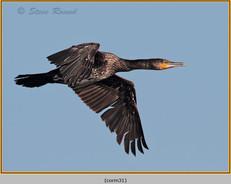 cormorant-31.jpg