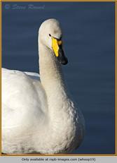 whooper-swan-19.jpg