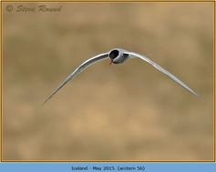 arctic-tern-56.jpg