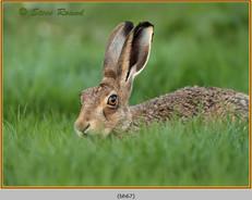 brown-hare-67.jpg