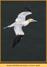 gannet-06.jpg