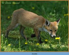 fox-68.jpg