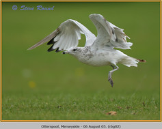 ring-billed-gull-02.jpg