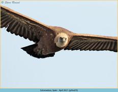 griffon-vulture-70.jpg