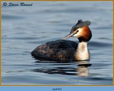 great-crested-grebe-43.jpg