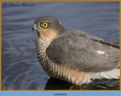 sparrowhawk-32.jpg