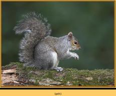 grey-squirrel-1.jpg