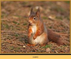 red-squirrel-01.jpg