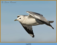 common-gull-28.jpg