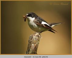 pied-flycatcher-19.jpg