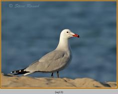 audouin's-gull-13.jpg