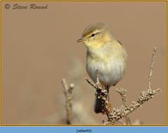 willow-warbler-49.jpg