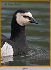 barnacle-goose-14.jpg