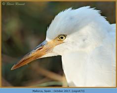 cattle-egret-73.jpg