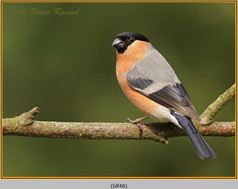 bullfinch-48.jpg