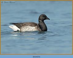 brent-goose-22.jpg
