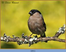 bullfinch-61.jpg