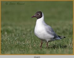 black-headed-gull-64.jpg