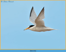 little-tern-16.jpg