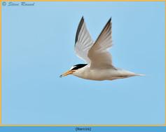 little-tern-16.jpg