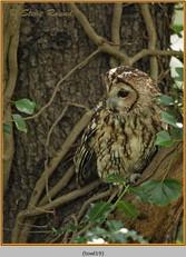 tawny-owl-19.jpg