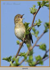 grasshopper-warbler-29.jpg