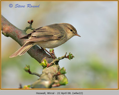 willow-warbler-22.jpg