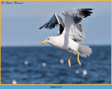 lesser-black-backed-gull-137.jpg