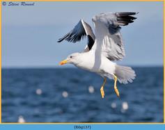 lesser-black-backed-gull-137.jpg