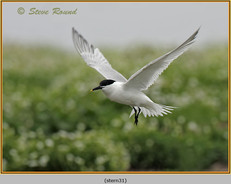 sandwich-tern-31.jpg