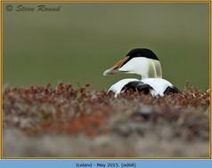 eider-duck- 68.jpg
