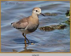 white-tailed-lapwing-18.jpg