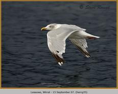herring-gull-35.jpg