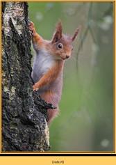 red-squirrel-14.jpg